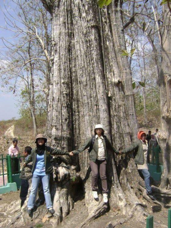 gambar kayu jati terbesar